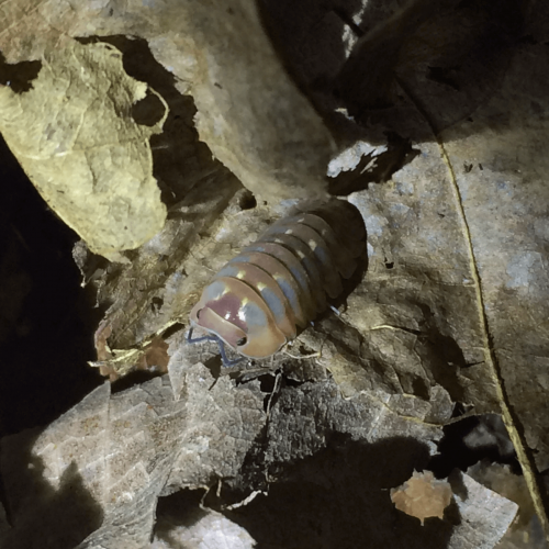 Armadilliade sp. 'Spot' Isopods