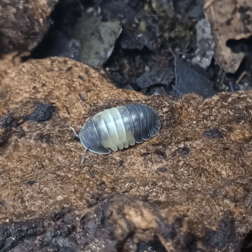 "Cubaris sp ""Panda king"" Isopods"