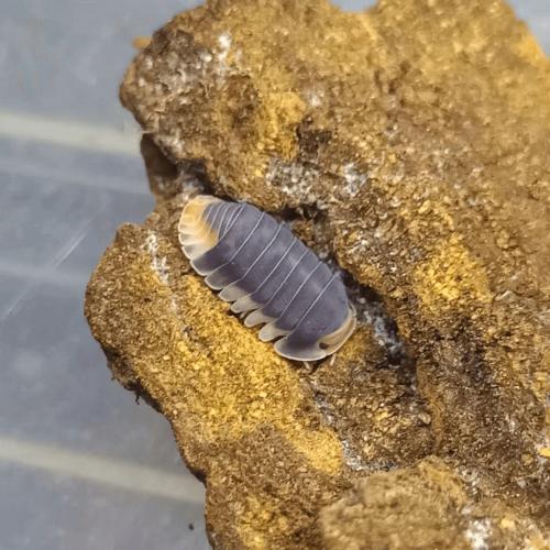 "Cubaris sp. ""Pakchong"" Isopods ×6"
