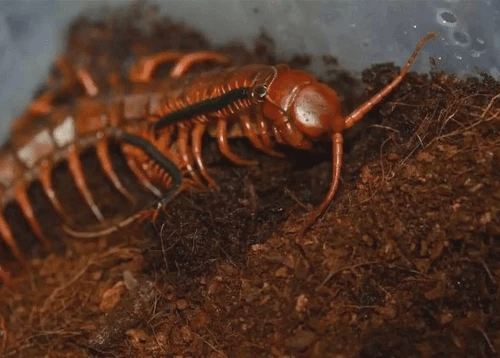 "Scolopendra dehaani ""Chinese Red – dragon"" Centipede"