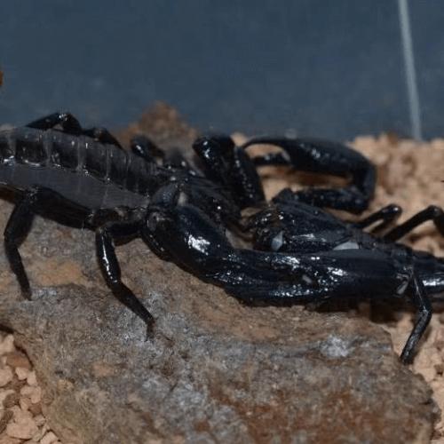 Heterometrus longimanus – Malaysian Forest Scorpion