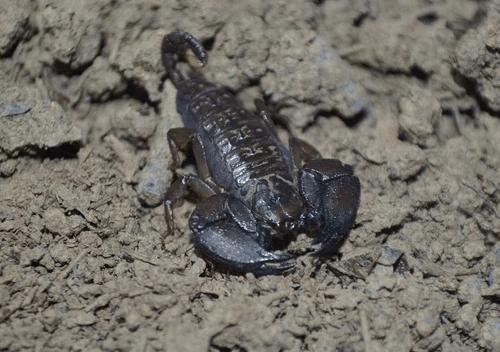 Dwarf Wood Scorpion (Liocheles australasiae) ×3