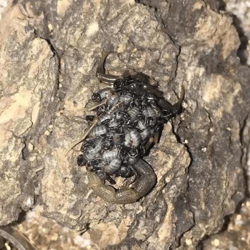 Uroplectes olivaceus Scorpion