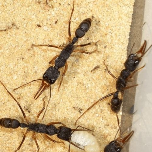 Ant colony Harpegnathos venator