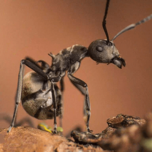 Ant colony Polyrhachis dives