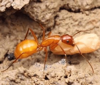 Ant colony Camponotus Fedtschenkoi