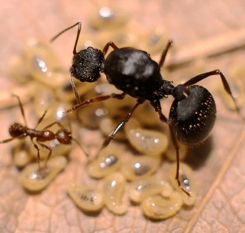 Ant colony Aphaenogaster geel