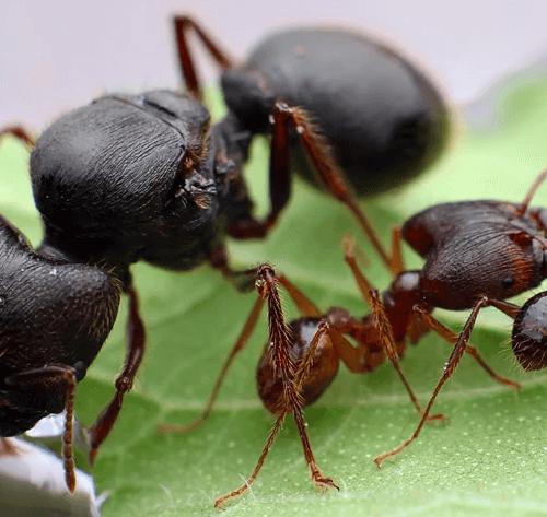 Ant colony Pheidole sinica