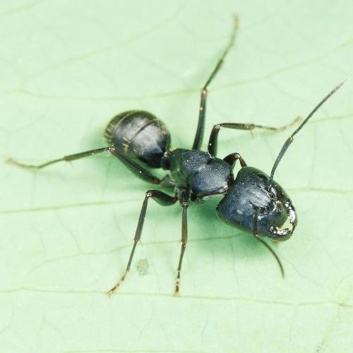Ant colony Camponotus japonicus
