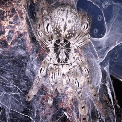 Heteroscodra maculata – Togo starburst baboon