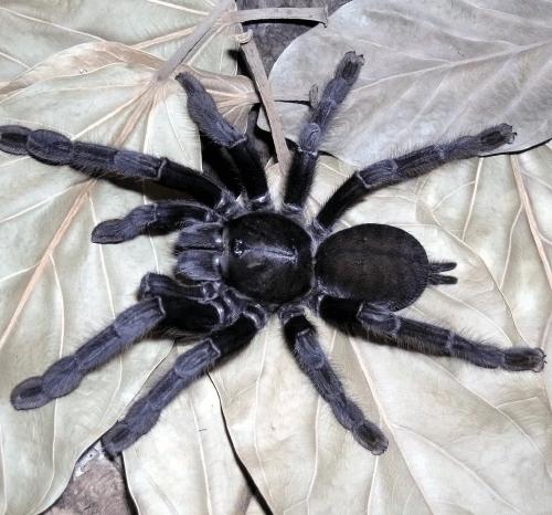 Cyriopagopus sp. Sulawesi Black Tarantula