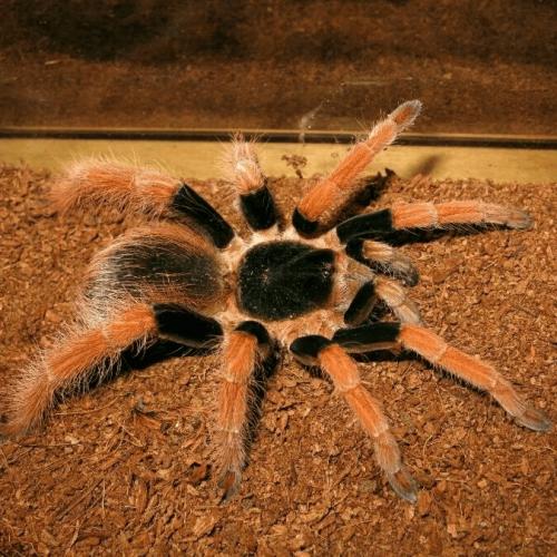 Megaphobema robustum (Colombian Giant Redleg Tarantula)