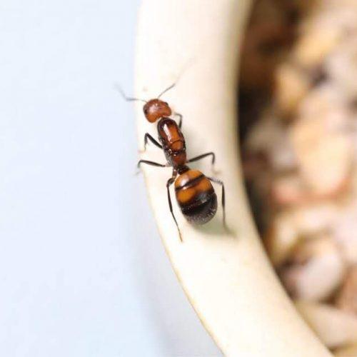 Camponotus Nicobarensis Ant