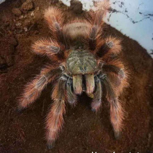 Nhandu tripepii – Brazilian Giant Blonde tarantula
