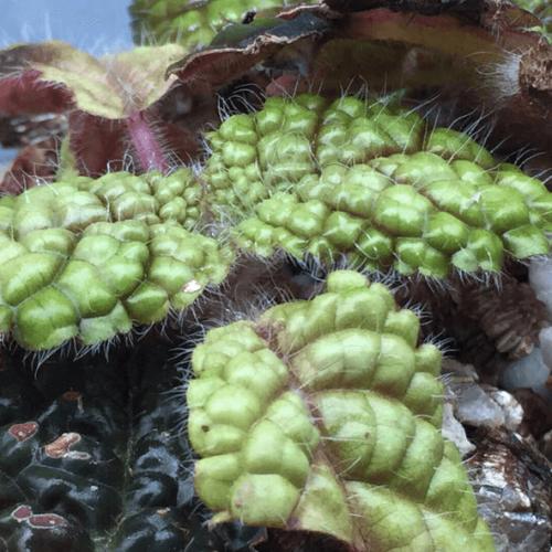Gesneriaceae sp Bumpy leaf