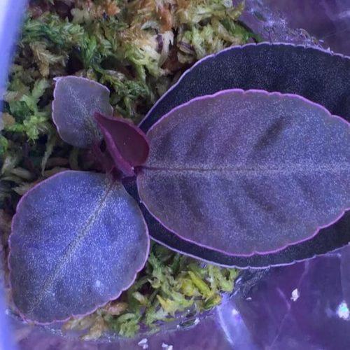 Ardisia sp Purple