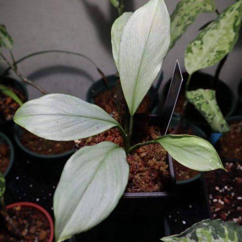 Homalomena sp Silver leaf