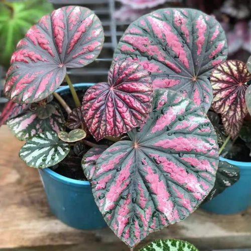 Begonia 'Candy Stripes'