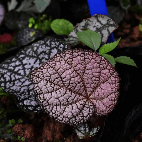 Begonia ningmingensis var. bella