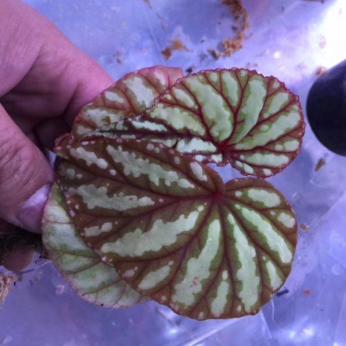 Begonia Belok