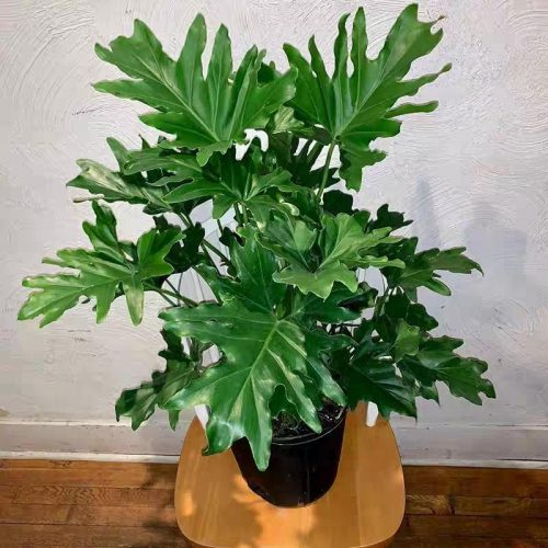 Hope Selloum Philodendron (Philodendron bipinnatifidum)