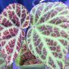 Begonia sp Kalimantan