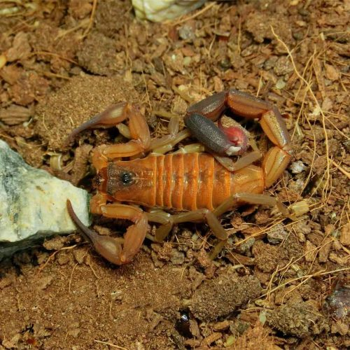 Heteroctenus junceus (fka Rhopalurus junceus) – Red scorpion