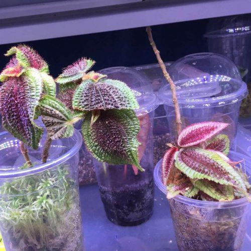 Melastomataceae sp Ecuador