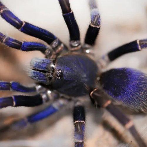 Malaysian blue femur (Psednocnemis brachyramosa)