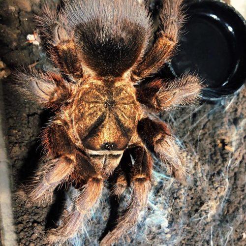 Phormictopus platus (Caribbean Gold tarantula)