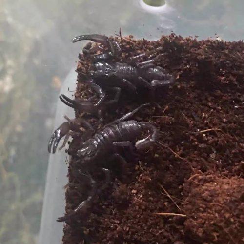 Heterometrus thorellii Scorpion