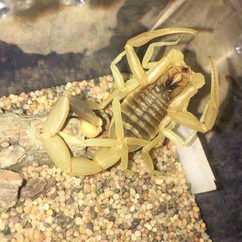 Leiurus quinquestriatus – Deathstalker Scorpion