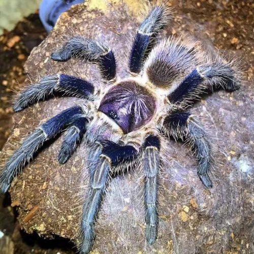 Phormictopus sp. Hispaniola – Caribbean Emerald Tarantula