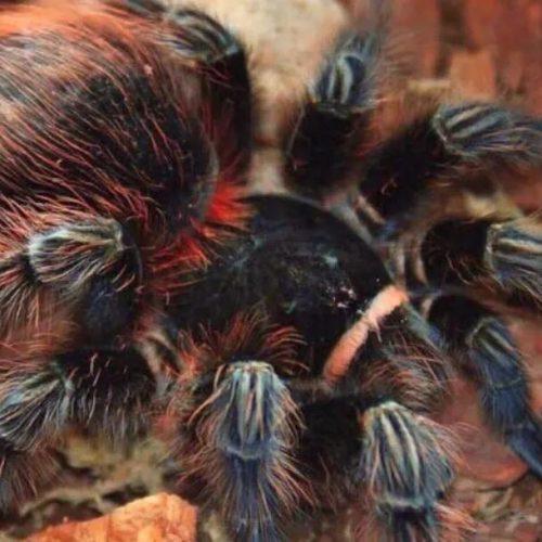 Acanthoscurria chacoana -Bolivian Red Rump Tarantula