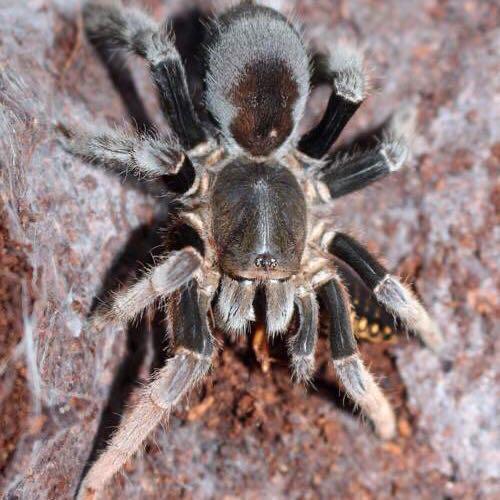 Lyrognathus giannisposatoi Tarantula