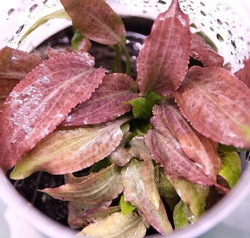 Cryptocoryne thwaitesii Kottawa forest Brown Type