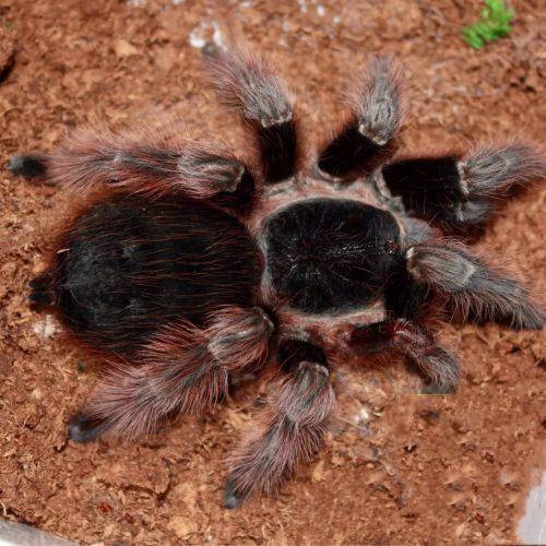 Nhandu carapoensis – Brazilian Red Tarantula