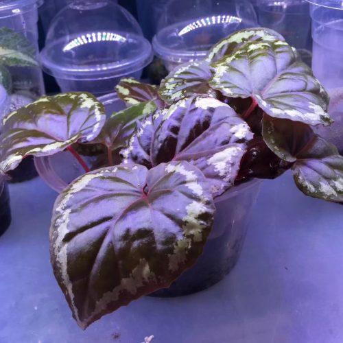Begonia ignita
