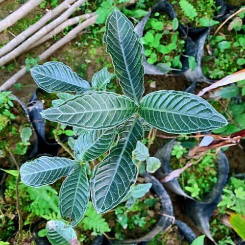 Psychotria calocarpa