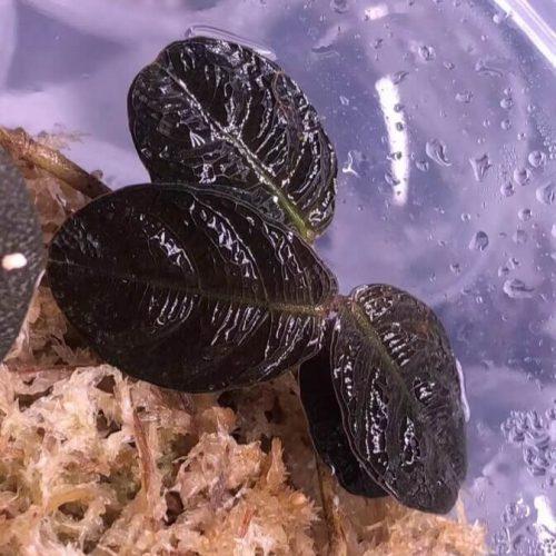 Acanthaceae sp Kalimantan