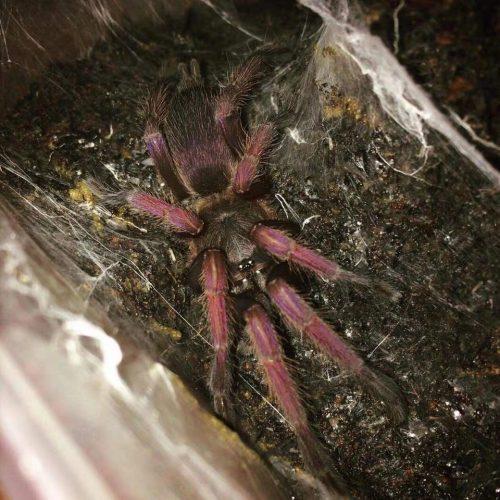 Orphanecus romblon pink Tarantula