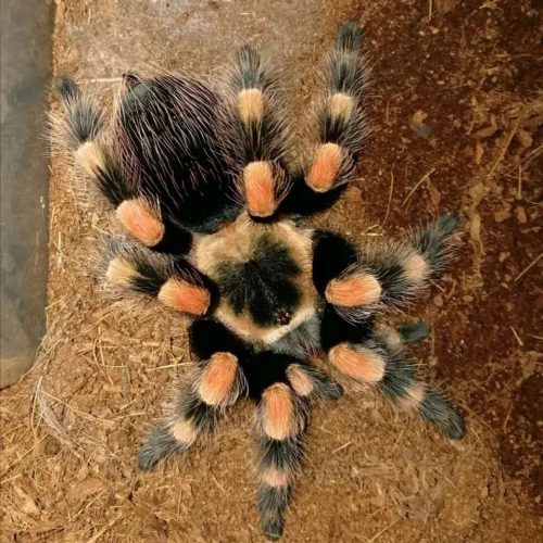 Brachypelma annitha – Mexican Giant Red knee