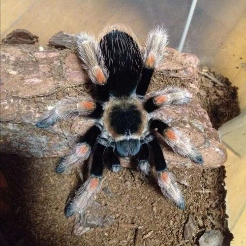 Brachypelma baumgarteni – Mexican orange beauty