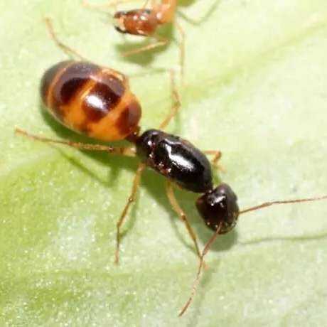 Camponotus turkestanus black spots Ant