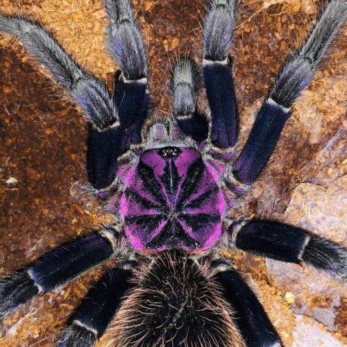 Xenesthis intermedia (Amazon Blue Bloom Tarantula)