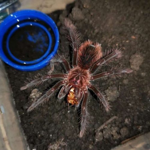Xenesthis intermedia (Amazon Blue Bloom Tarantula)
