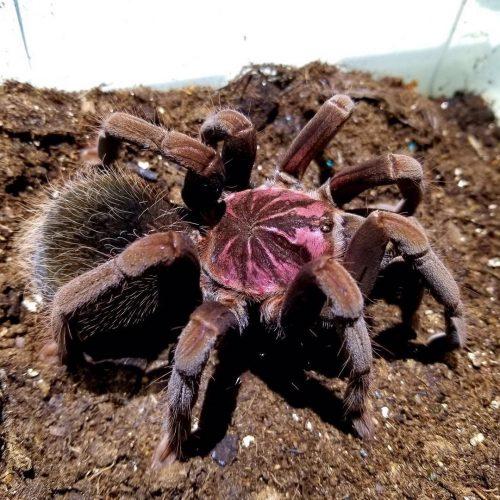 """Xenesthis sp. """"megascopula"""" Tarantula"""