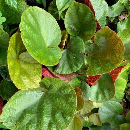 Begonia areolata