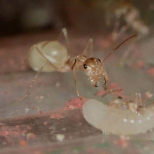 Cataglyphis pallida ant colony