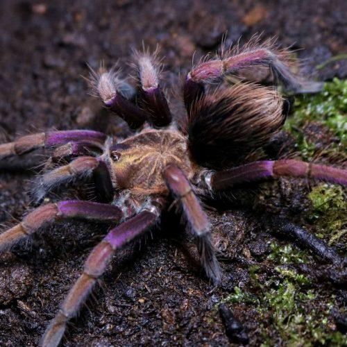 Pamphobeteus insignis (Colombia) – Purple Bloom Tarantula